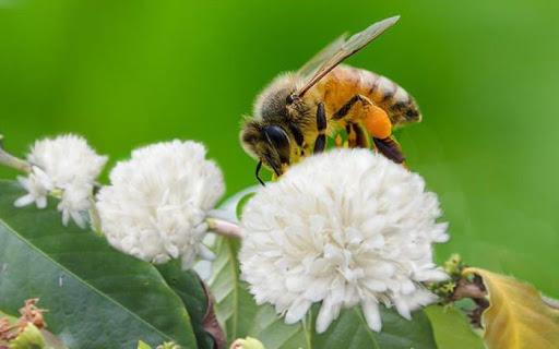 Mật ong hoa cà phê - Mật ong quê nhà